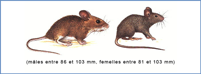 d ratisation nancy metz hms 3d r alise votre d ratisation de rats sur l 39 alsace et la lorraine. Black Bedroom Furniture Sets. Home Design Ideas