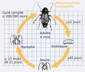 Mode de vie et de reproduction des cafards - rentokilfr